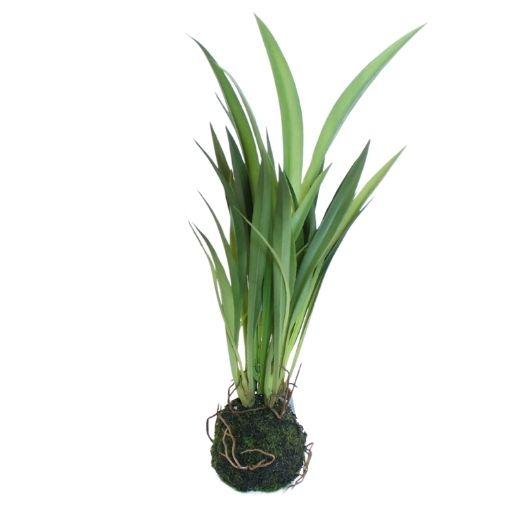Græsplante med rod - Lange brede strå - H 30 cm